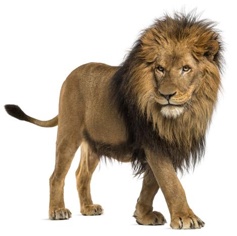 lev - složení Predatorus